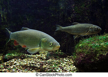 two freshwater fishes - underwater scenery showing two...