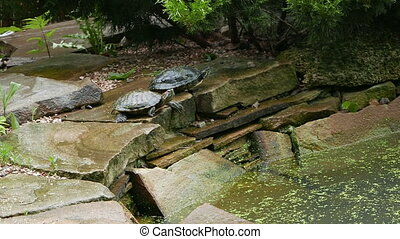 two freshwater turtles on a rock in pond