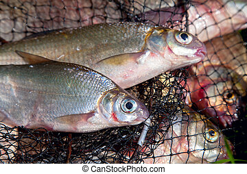Two freshwater white bream or silver bream on keepnet with bronze breams or carp breams on natural background.