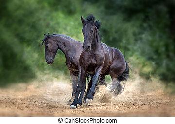 Two frisian horses run