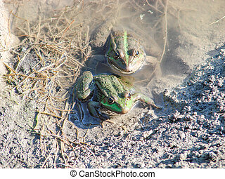 Two frogs bask on shore of the lake