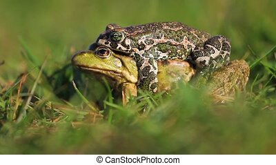 Two frogs of different species to mate, wildlife, unique...