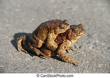 Two frogs. One sits on the other. Frogs crawl through...