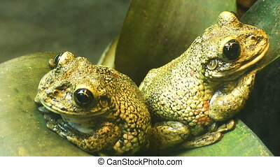Two frogs sit on a green leaf. - Two frogs sit on a green...
