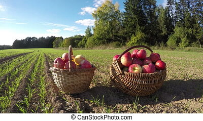 two full wicker baskets on summer end field with apples ....
