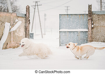 Two Funny Dogs - Labrador Dog And Samoyed Playing And...