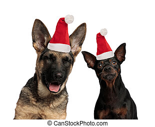 two funny dogs wearing santa claus hats
