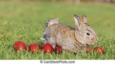 Two funny little grey rabbits sit in the green grass among red Easter eggs