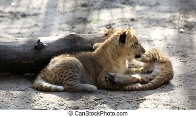 Two funny little liger cub.