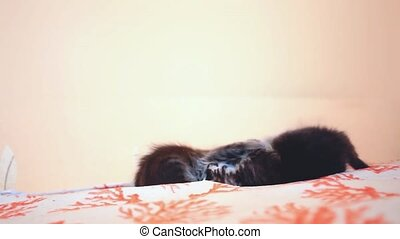 Two Funny Maine coon kittens fighting on the bed. 1920x1080. hd