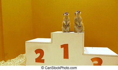 Two funny meercats sharing first place at victory podium....