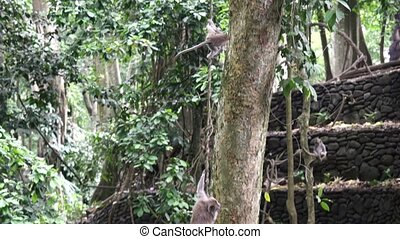 Two funny monkeys go down lianas in tropical forests of Indonesia.