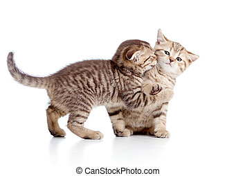 two funny playful small kittens playing with each other