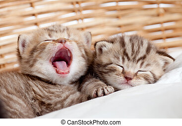 two funny sleeping and yawning kittens in wicker basket -...