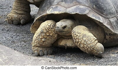 Two Galapagos tortoise mating - Two Galapagos tortoise...