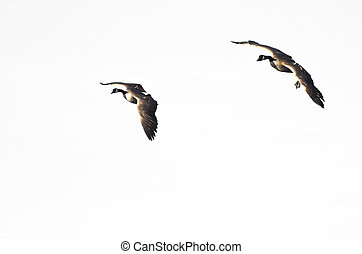 Two Geese Flying Against a White Background