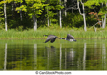 Two Geese Flying on the Lake