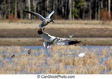 Two geese landing