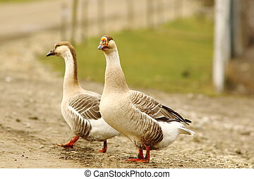 two geese on rural road