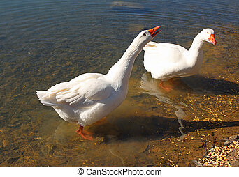 two geese squawking on the shore of a pond