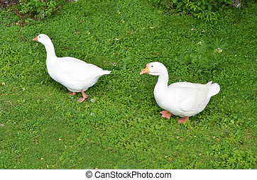 Two geese walking on the grass