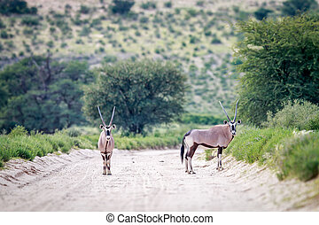 Two Gemsbok on the road.