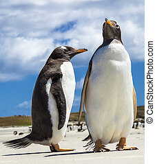 Two Gento Penguins at Falkland Islands.