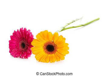 Two gerbera flowers isolated on the white