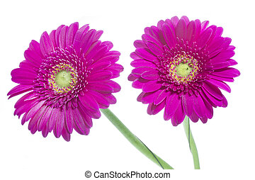 Two Gerbera flowers on white