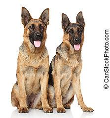 German Shepherd dogs on white background