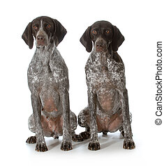 two german shorthaired pointers sitting on white background
