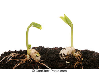 Two germinating seeds