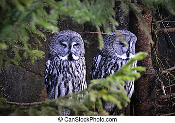 Great gray owls sits on a tree