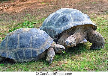 Aldabra Tortoises - Two giant Aldabra Tortoises grazing on...