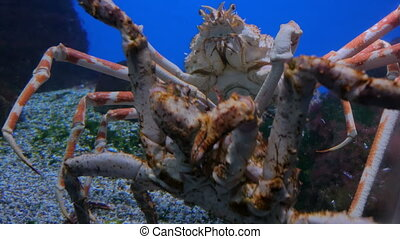 Two giant japanese spider crabs slowly moving. Macrocheira...