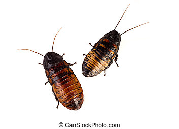 Two giant Madagascan cockroaches in a clean white background