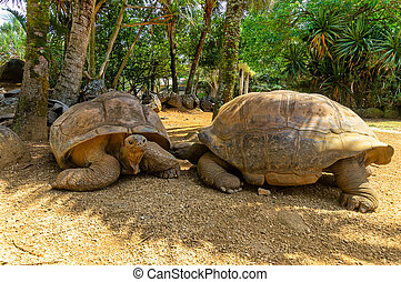 Two giant turtels are looking at each other at mauritius in a park.