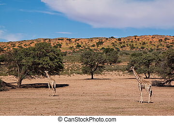Two giraffe walking in the desert dry landscape