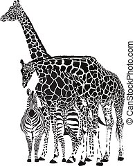 Two giraffes and two zebras