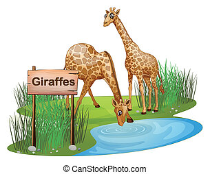 Two giraffes at the pond near a signboard