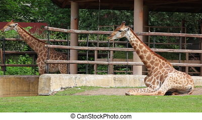 two giraffes eat at zoo and near them walking zebra - two...