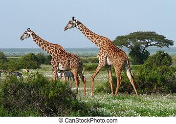 Two giraffes in african savannah - Two walking giraffes in...