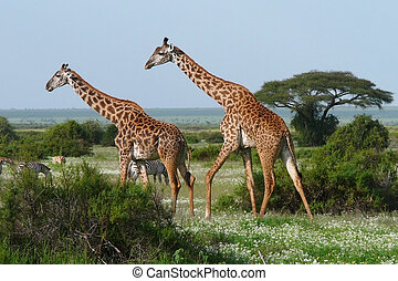Two walking giraffes in green african savannah
