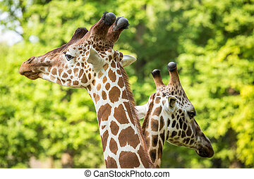 Two giraffes in love