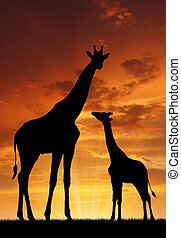 Two giraffes in sunset