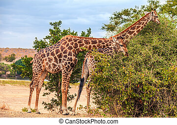 Two Giraffes nibbling on a bush in Kruger National Park, South Africa
