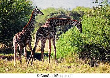 Giraffes on savanna eating. Safari in Serengeti, Tanzania, Africa