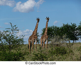 two giraffes - Serengeti giraffes in their natural habitat....