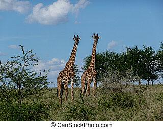 two giraffes - Serengeti giraffes in their natural habitat.