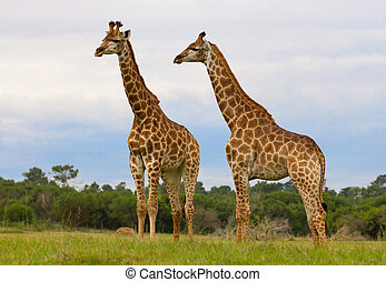 Two Giraffes standing in the wild